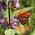 Butterfly - gulf frittallary on sage