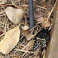 Swallowtail emerging from dormancy