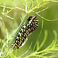 Caterpillar - black swallowtail on fennel
