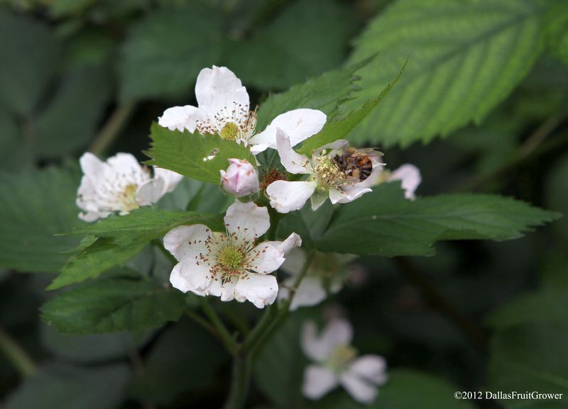 Blackberry blossoms with bee