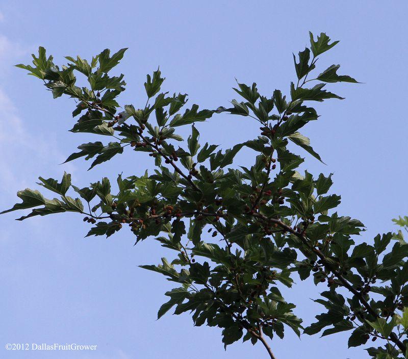 Mulberries ripe 2