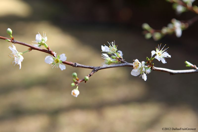 Pluot bloom
