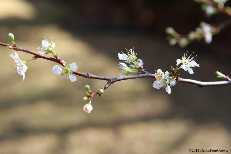Pluot bloom