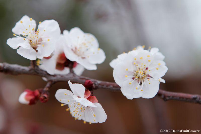 Apricot - Blenheim bloom landscape