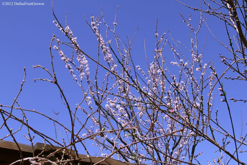 Plum - allred in bloom