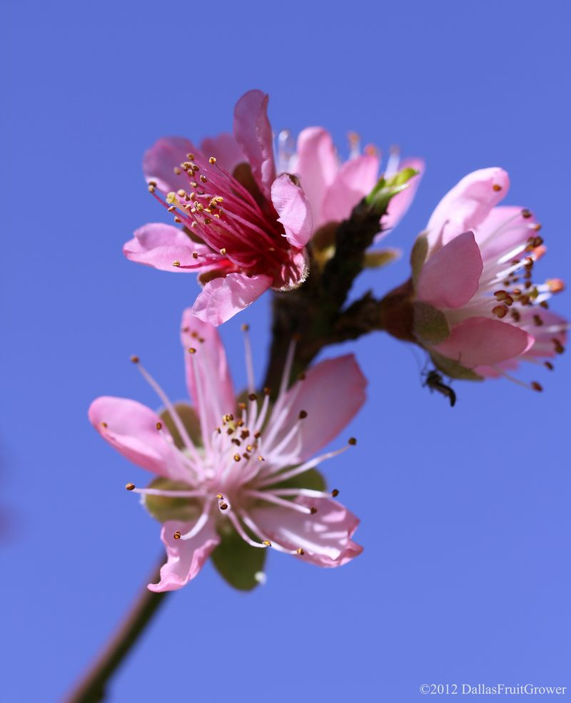 Peach - three sentinel blooms