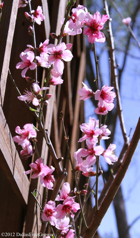 Peach - saturn blooms