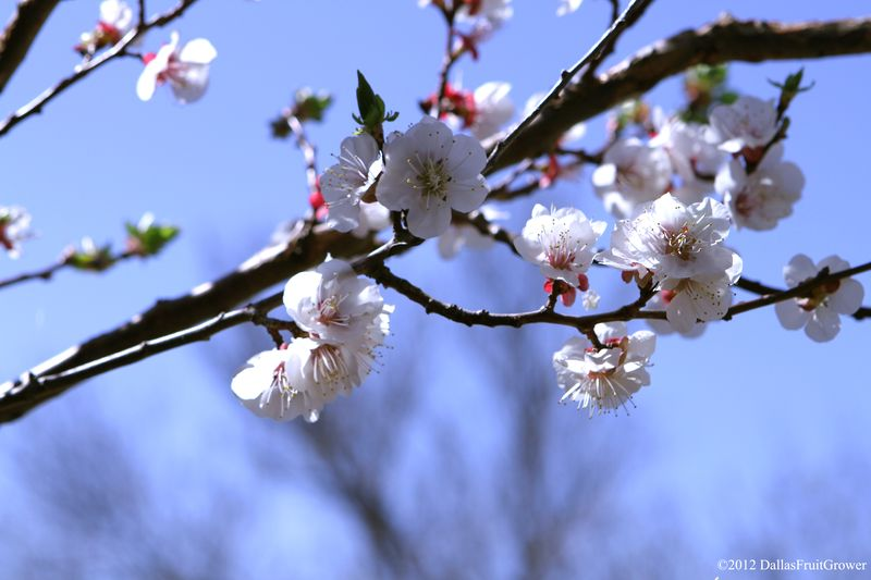 Apricot - moorpark blossoms