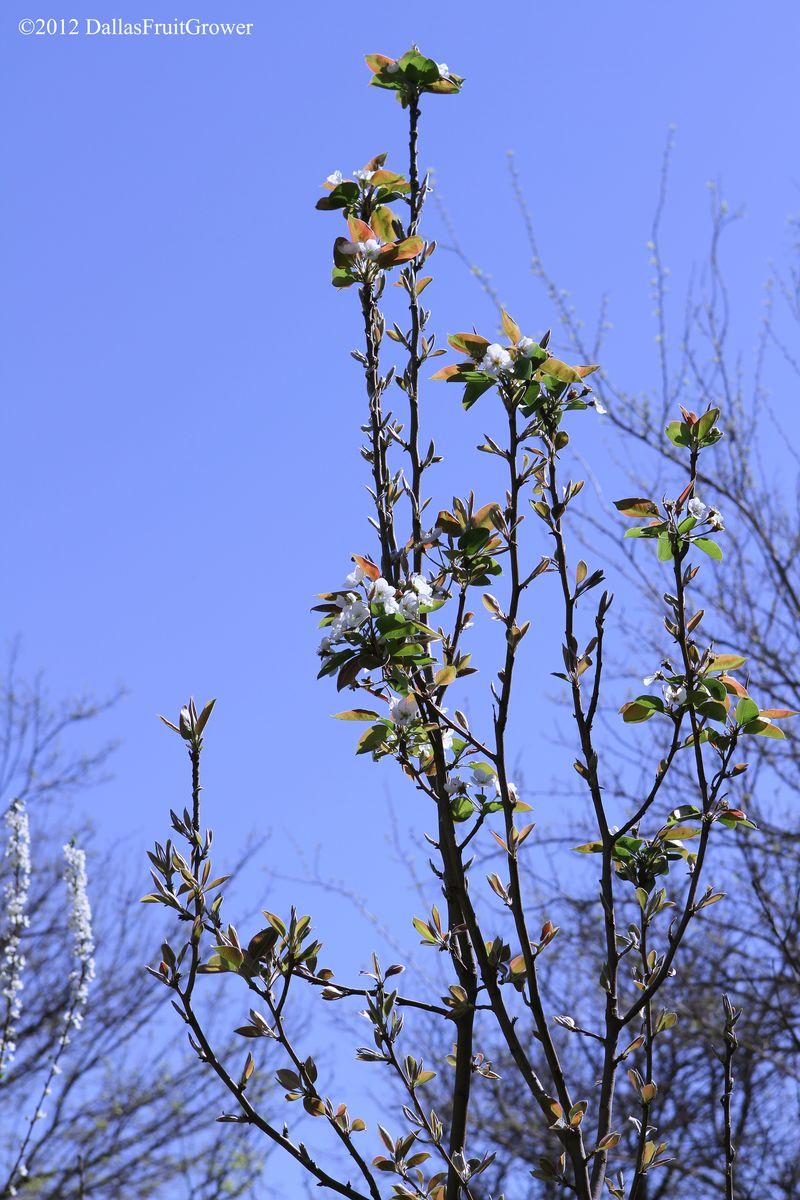 Pear - orient in bloom