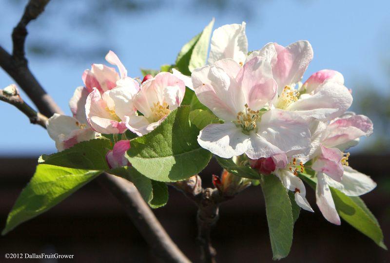 Apple - anna blossom