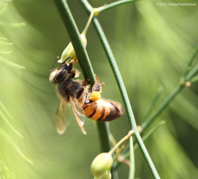 Bee - on asparagus