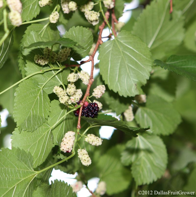 Mulberry - ripe and unripe fruit