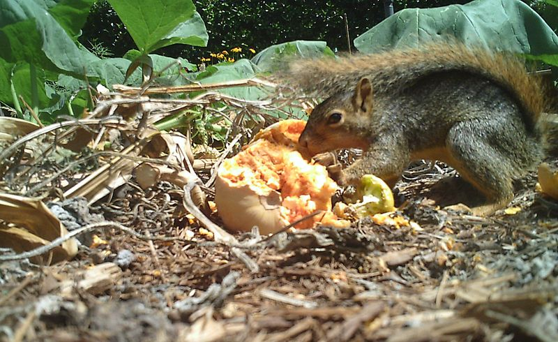 Squirrel - eating squash