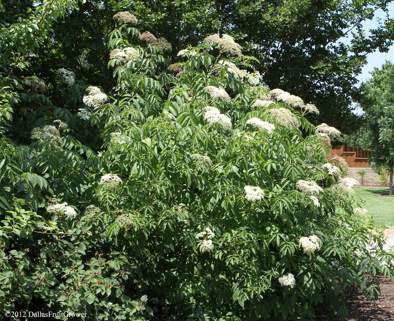 Elderberry in bloom