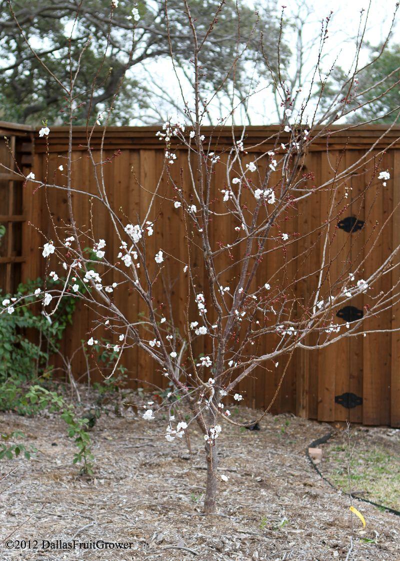 Apricot - blenheim in bloom