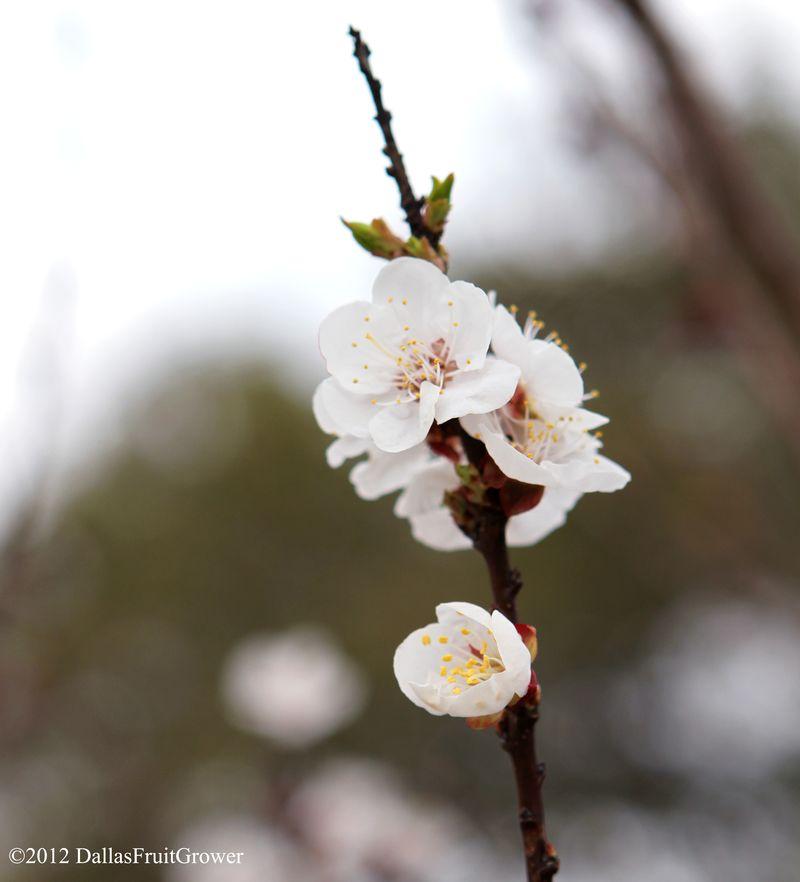 Apricot - blenheim bloom portrait