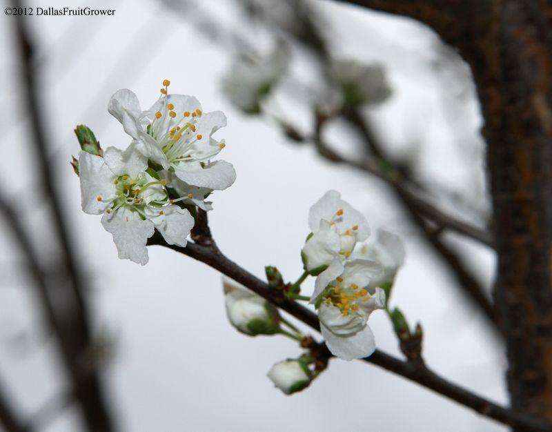 Plum - morris blooms