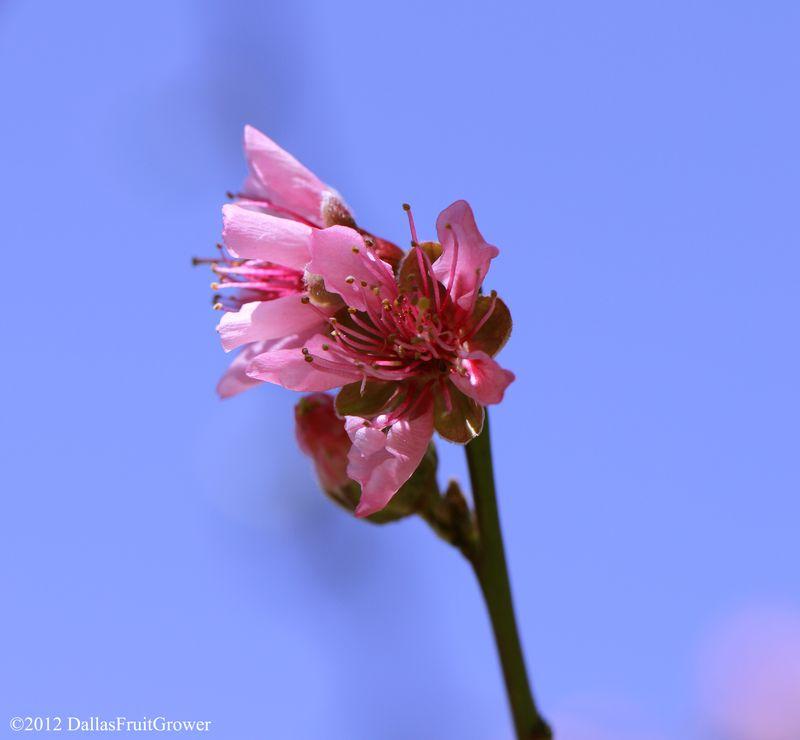 Peach - sentinel blossom