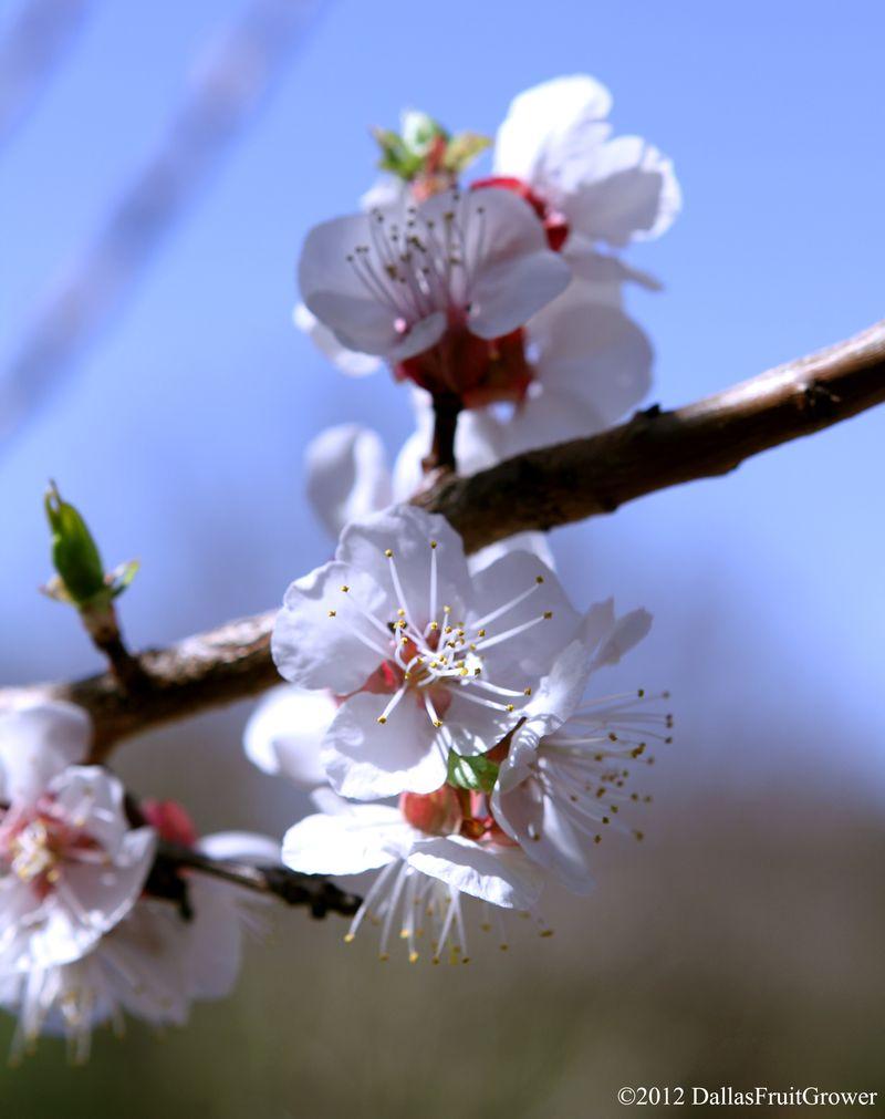 Apricot - moorpark set of blossoms