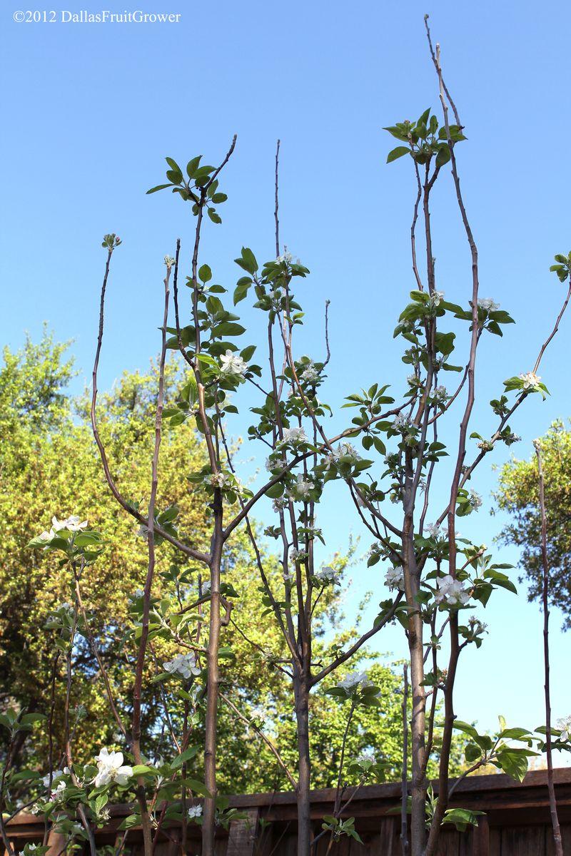 Apple - anna tree in bloom