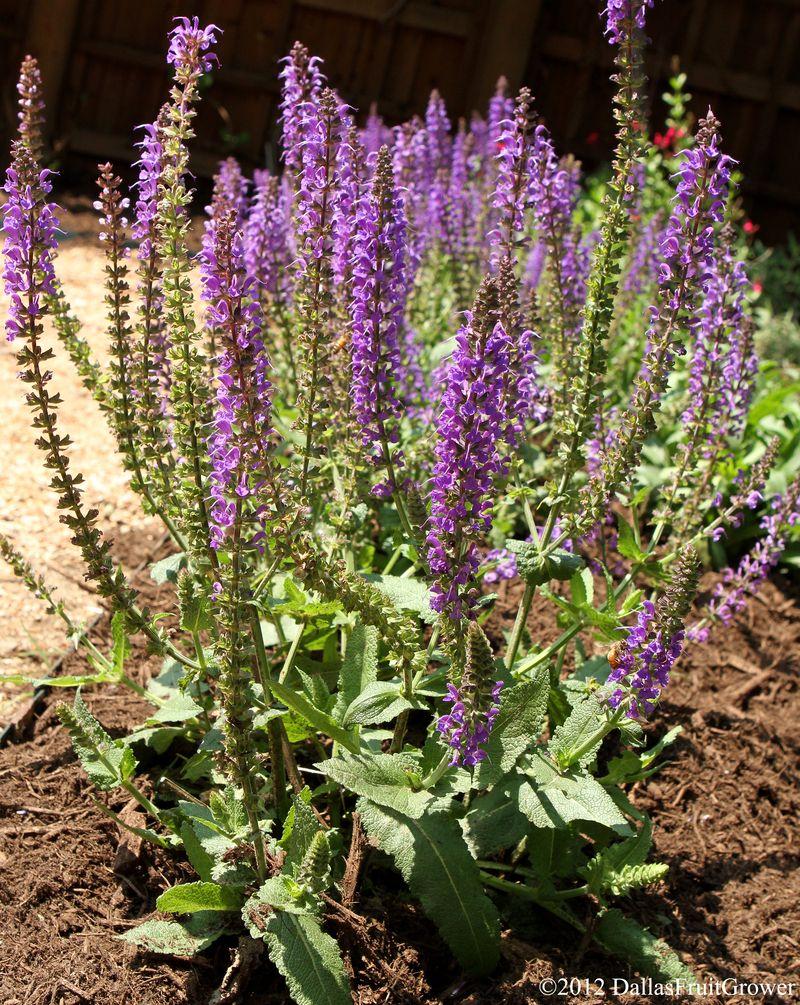 Salvia nemerosa - may night