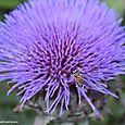 Artichoke with bee