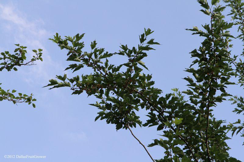 Mulberries ripe
