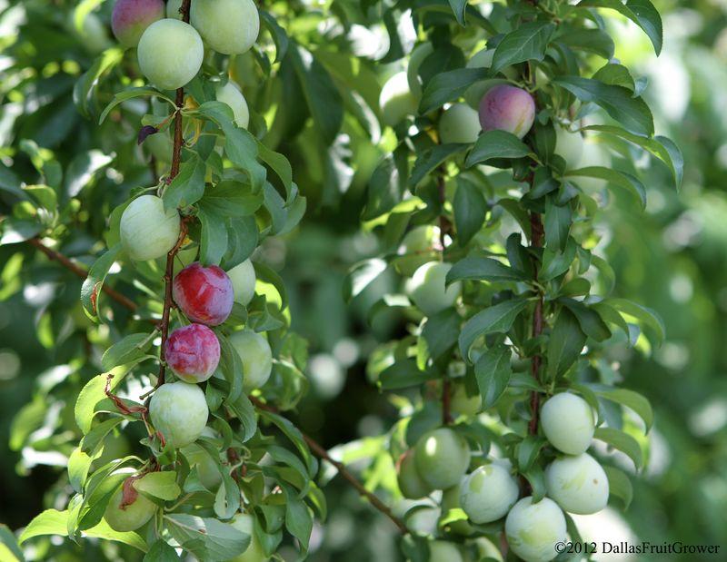 Plum - morris plums ripening on branch