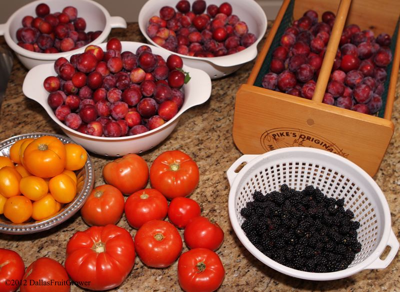 Harvest - plums, tomatoes, blackberries