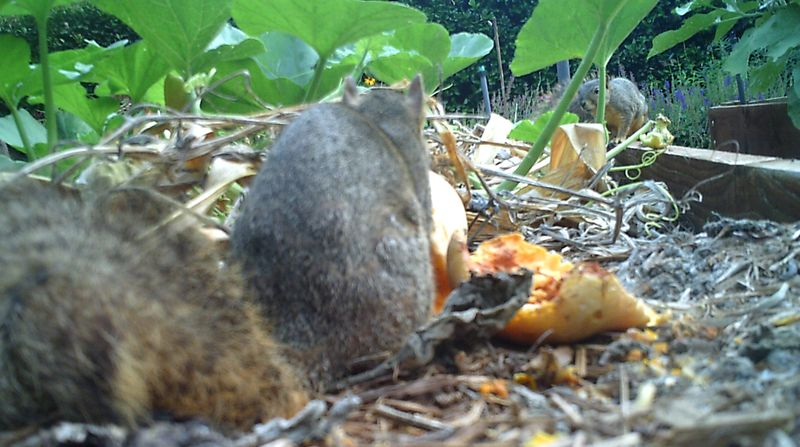Squirrels - 2 squirrels with squash