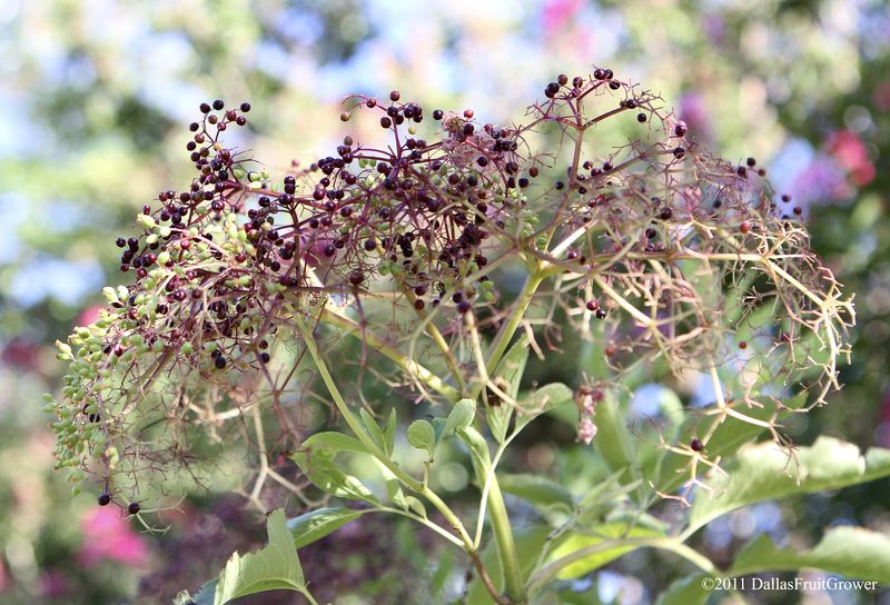 Elderberries - ripening