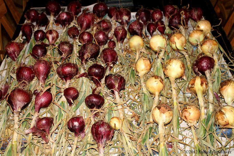 Onions - dried onions