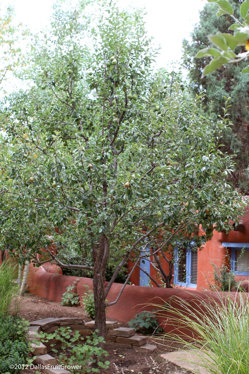 Taos pear tree