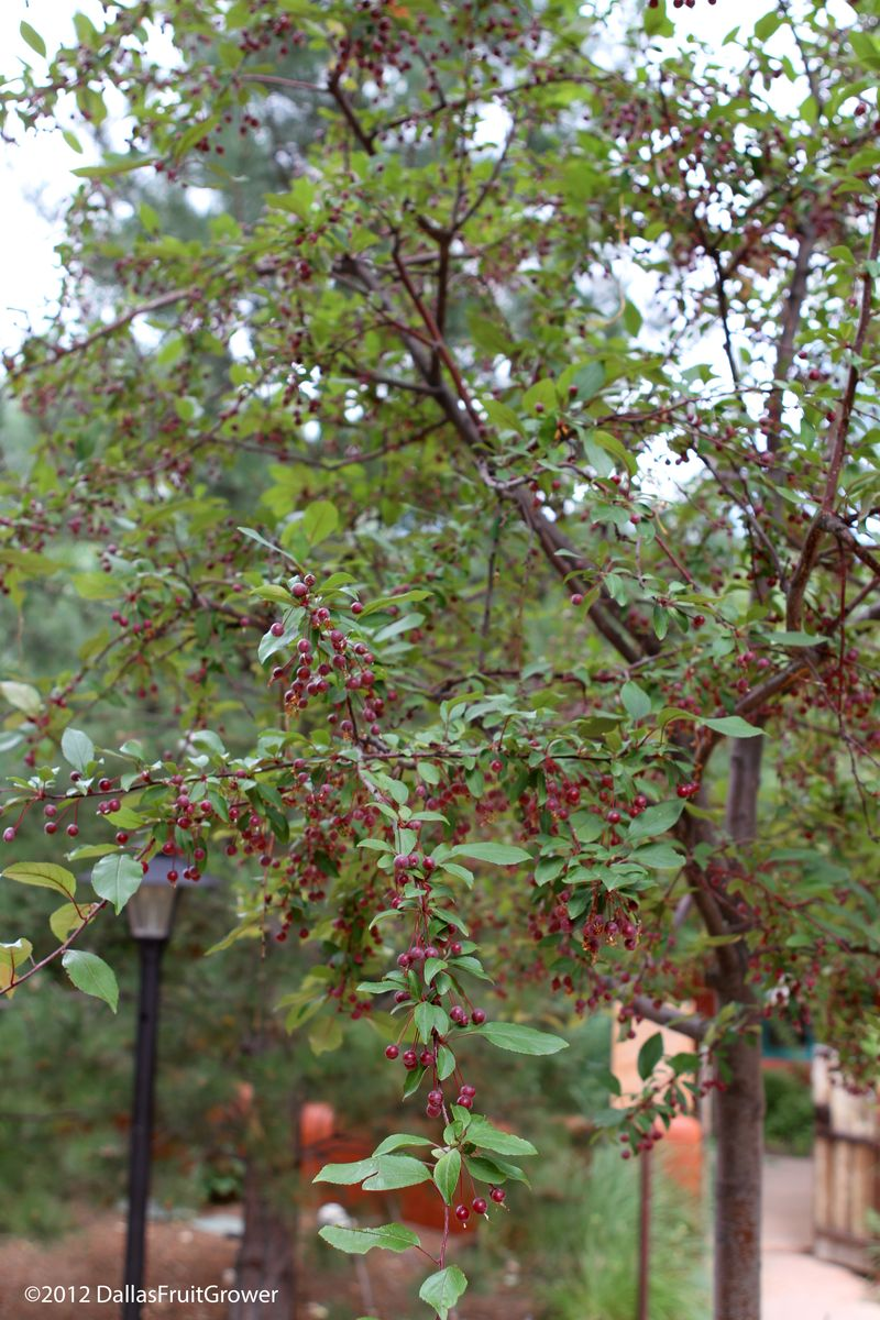 Taos juneberries