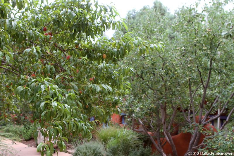 Taos peach tree
