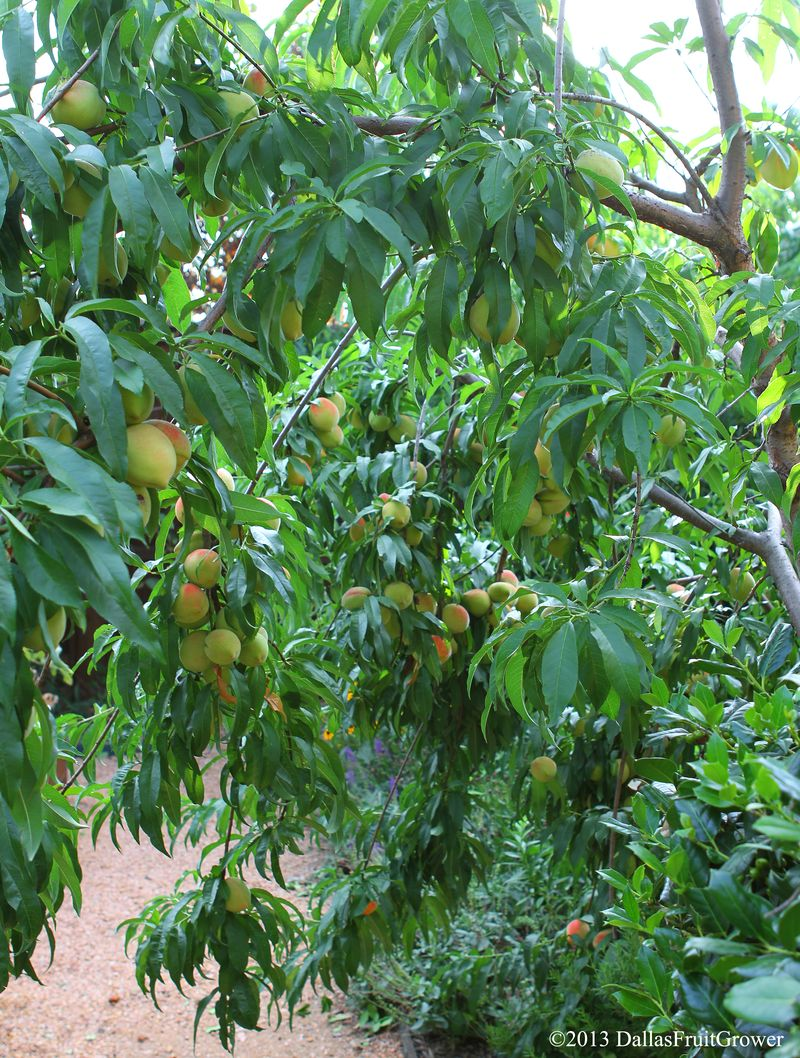 Redhaven loaded peaches