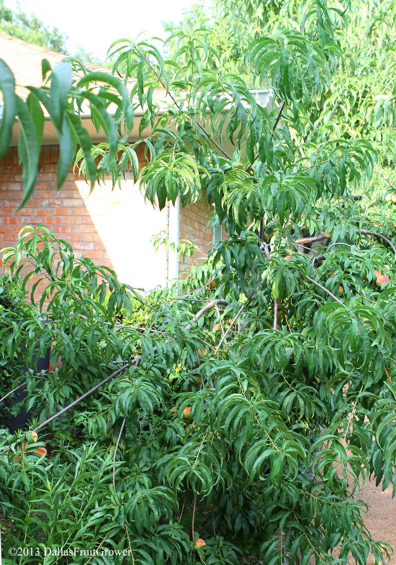 Redhaven peach bending branches