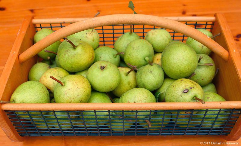 Pears in hod