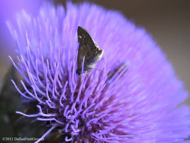 Artichoke blossom with skipper 2