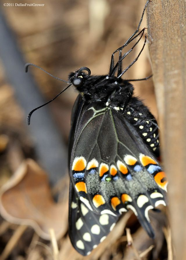 Swallowtail close-up