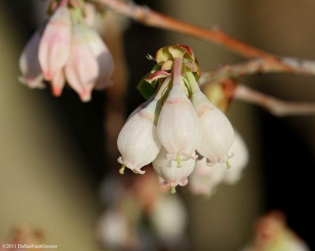 Blueberry blossom 1