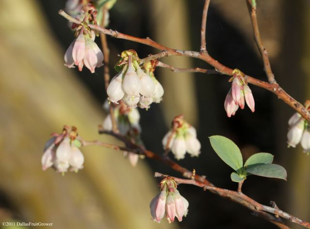 Blueberry blossoms 2