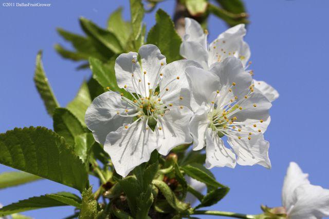 Compact stella blossom