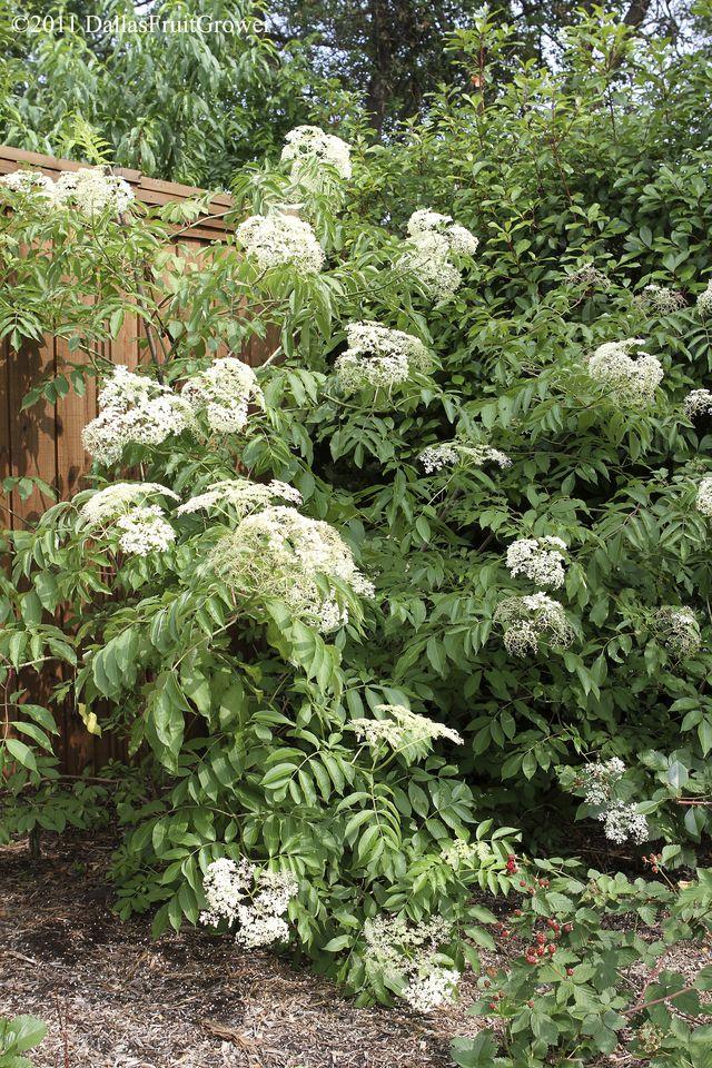 Elderberry bush in flower