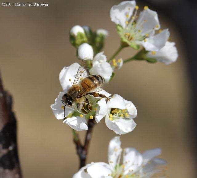 Honey bee on pluot