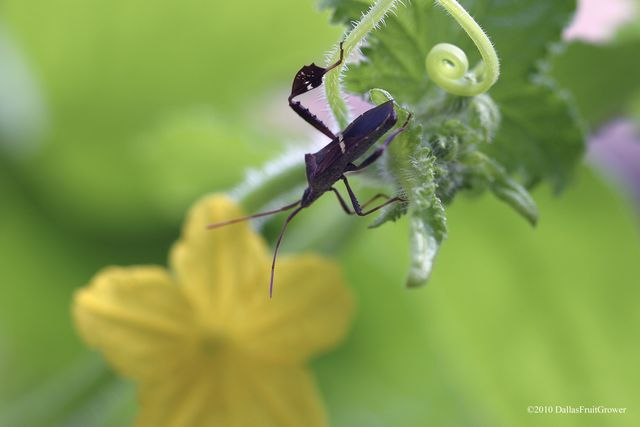 Leaf footed bug from side
